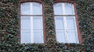 Fenster eines Verwaltungsgebäudes mit Efeu umwachsen.